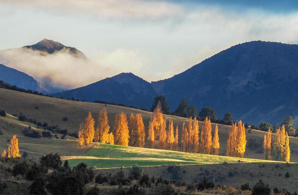 It's a great photo but wouldn't it make a marvellous oil painting too? Poplars in the limelight...