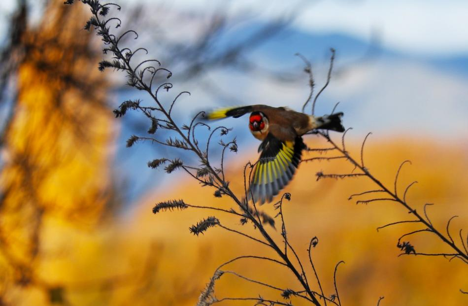 A goldfinch caught in flight over the Clutha River near Albert Town on Monday. Photo: Don Buick
