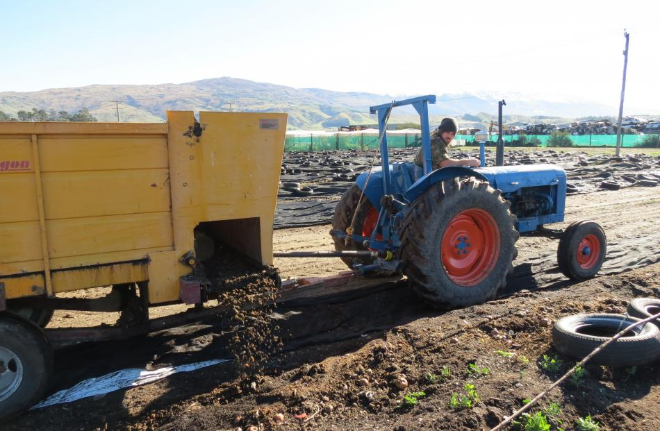 Environmental enthusiast Lyndon Aitken, who helps out occasionally at Robbie Dick's Central Wormworx, in Cromwell, feeds out organic waste for some of the hundred million worms on the worm farm.