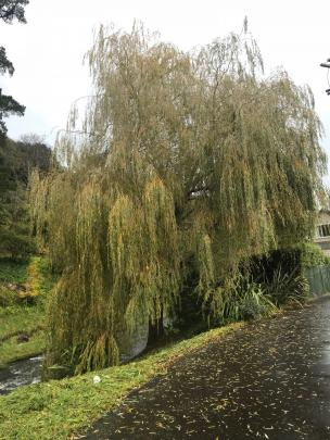 Golden weeping willow makes a lovely specimen tree if space permits.