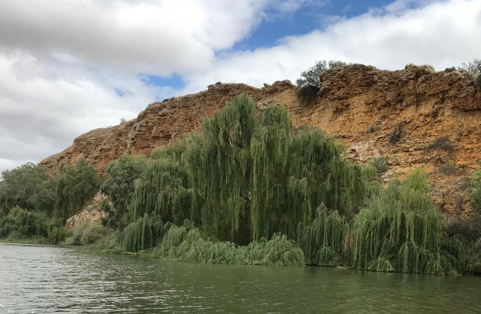 Green weeping willow is considered a pest plant in much of Australia.