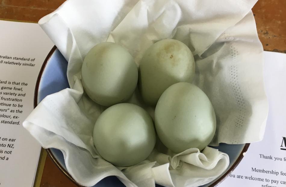 The green and blue coloured eggs.