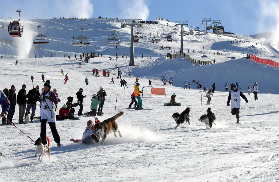 The Town dogs and their owners race down Cardrona Alpine Resort.