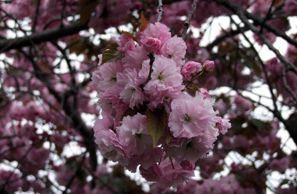 Weeping flowering cherries come in pink or white.