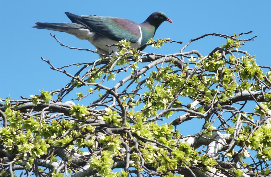 A kereru shows its appreciation of the Hill garden's weeping elm.