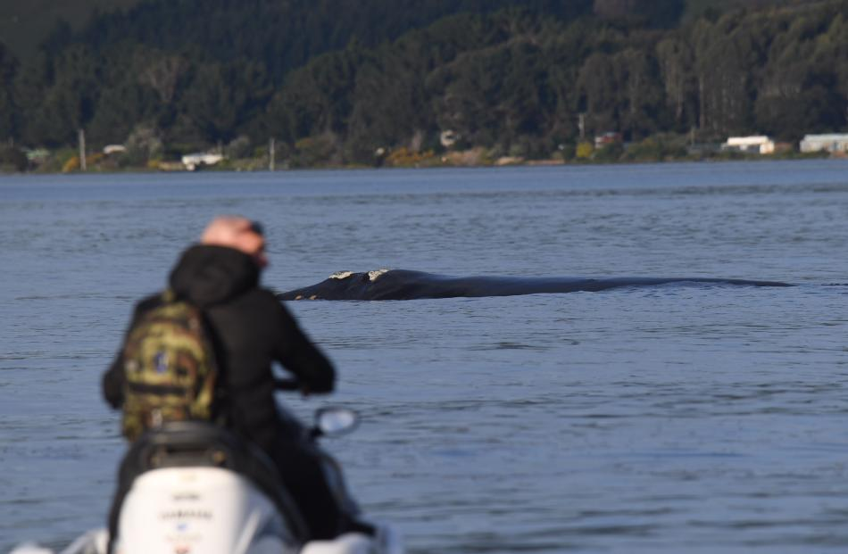 A jet skier gets up close and personal with a southern right whale in Otago Harbour. Photo:...