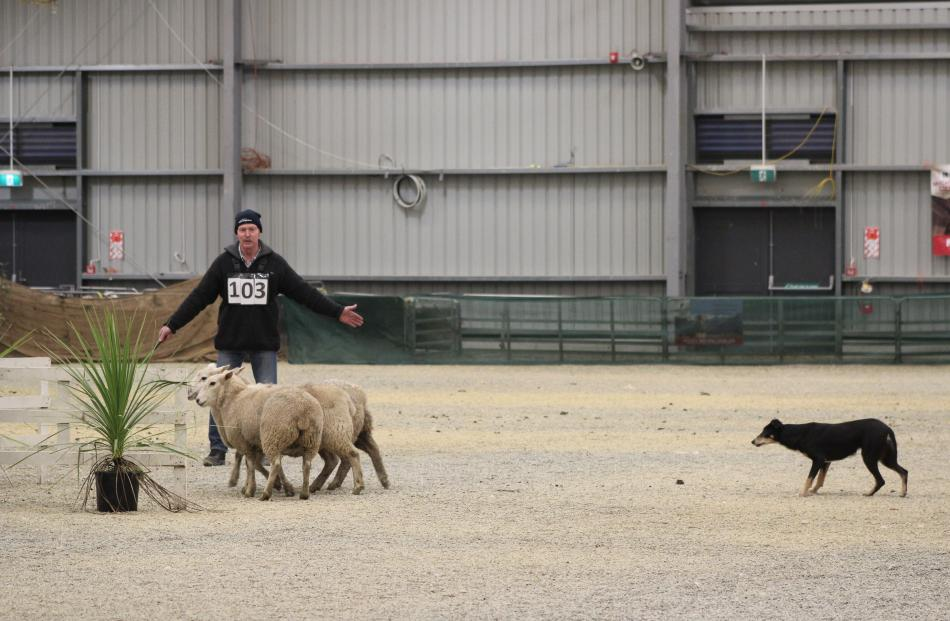 Bill Hinchey, of Omakau and dog Mist balance the sheep over the bridge at the Southern Charity Indoor Dog Trials last week.