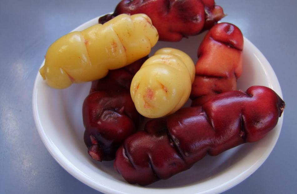 Red and yellow oca usually seem to have bigger tubers than pink.