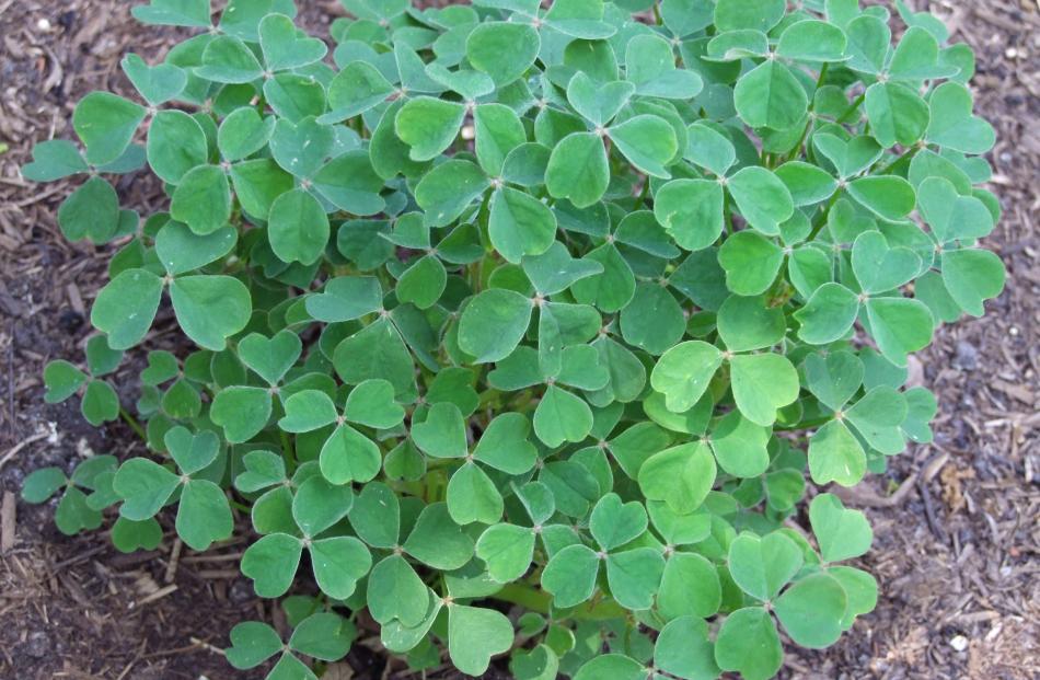 Shamrock-like oca foliage may have given rise to to the nickname Irish potato.
