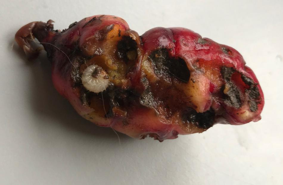 Grass grubs can damage oca, especially those growing close to the surface.