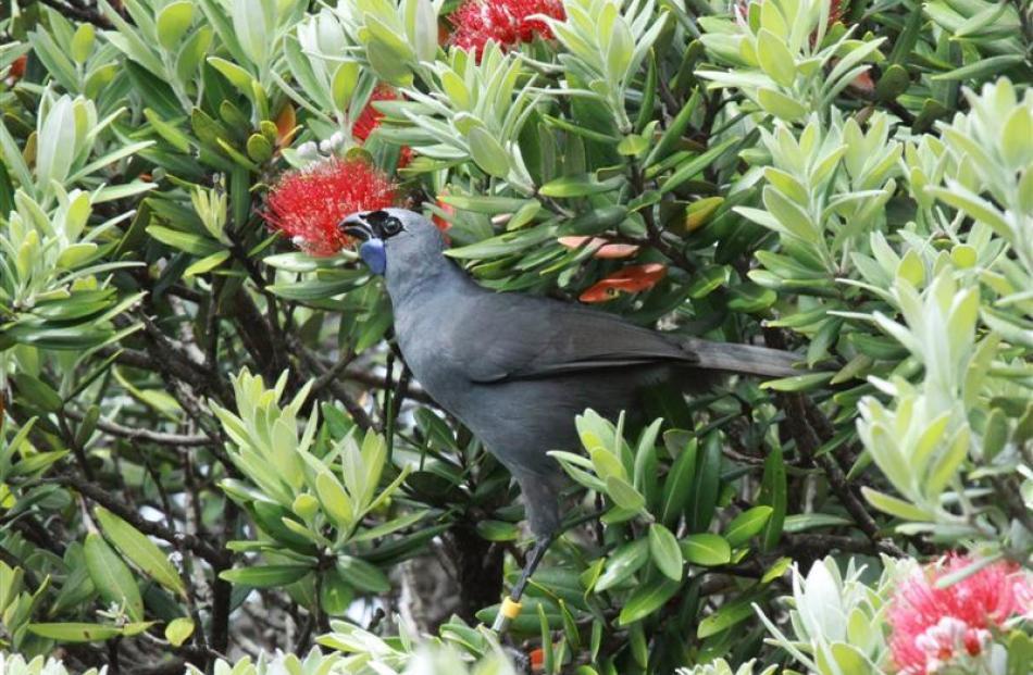 Kokako feed on pohutukawa blossom on Tiritiri Matangi.