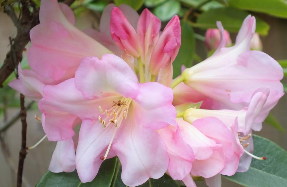The Dixons successfully moved several rhododendrons from their previous property.