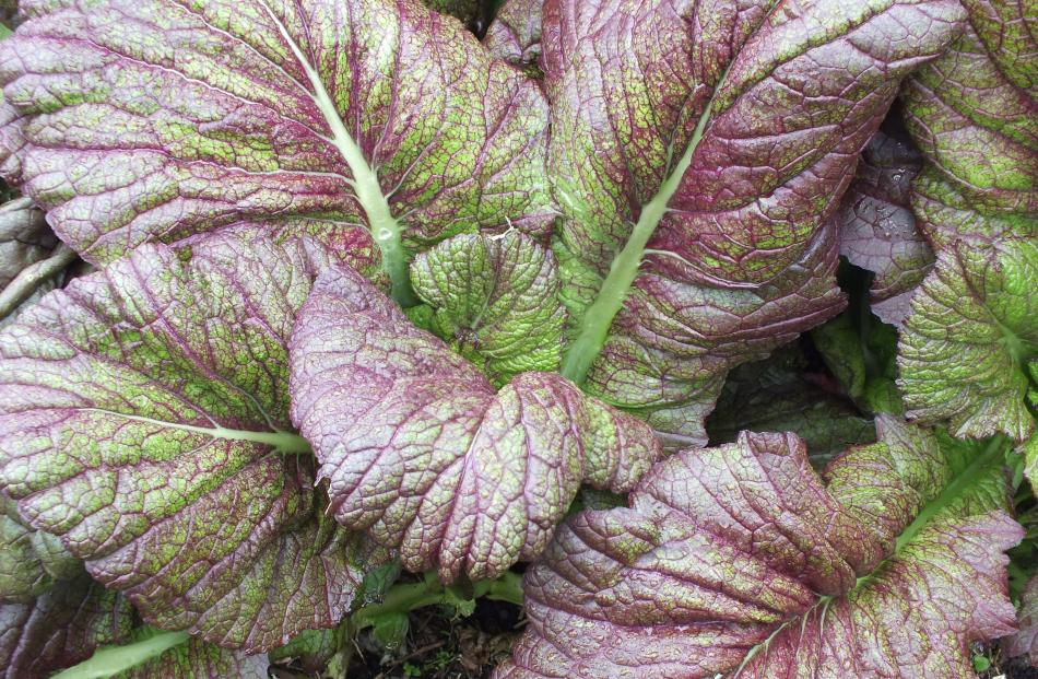 Red mustard is a fast-growing leafy brassica.