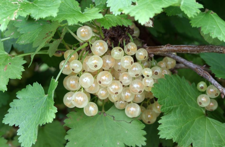 Whitecurrants have lower vitamin content than black or redcurrants.