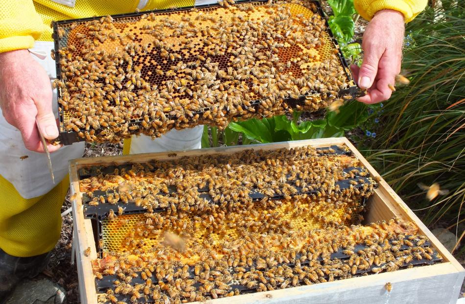 Each hive contains several frames on which honey is made. Photos: Gillian Vine
