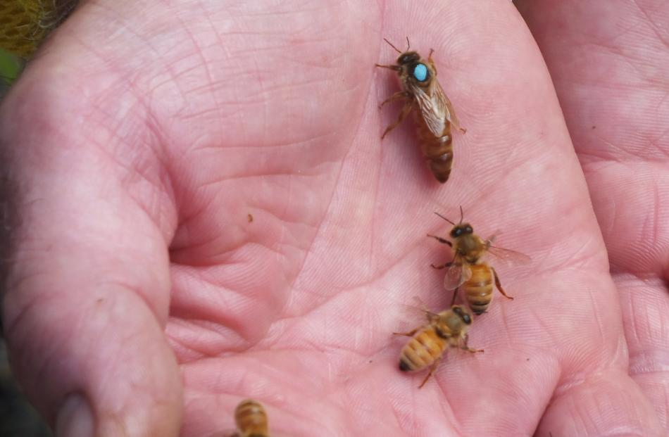 Resting on Murray Rixon's hand, a queen bee is identified by the blue dot.