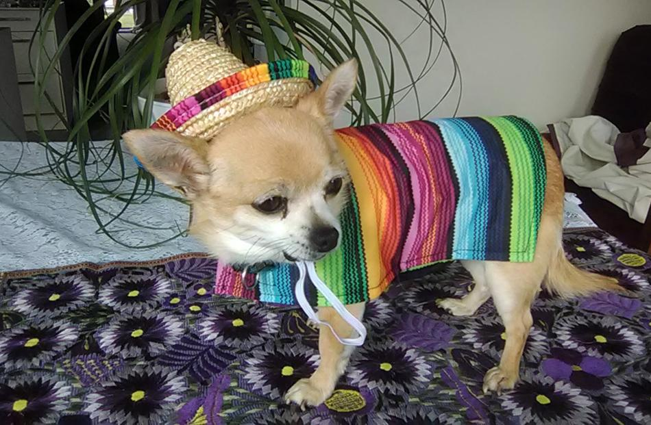 Minnie in the Mexican outfit she got for Christmas from her Chihuahua friend Chilly, at Lake...