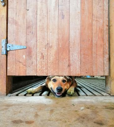 Bob the dog looks under a shearing shed pen door while taking a break from penning sheep for...