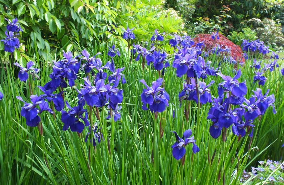 Bold blue irises are a November feature.