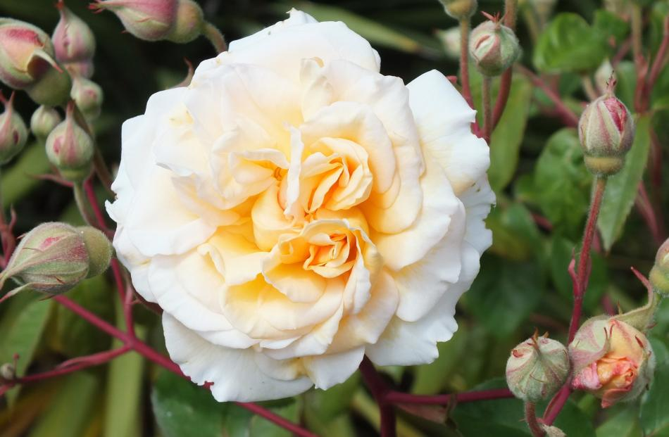 Roses start flowering in time to overlap with later rhododendrons and azaleas.