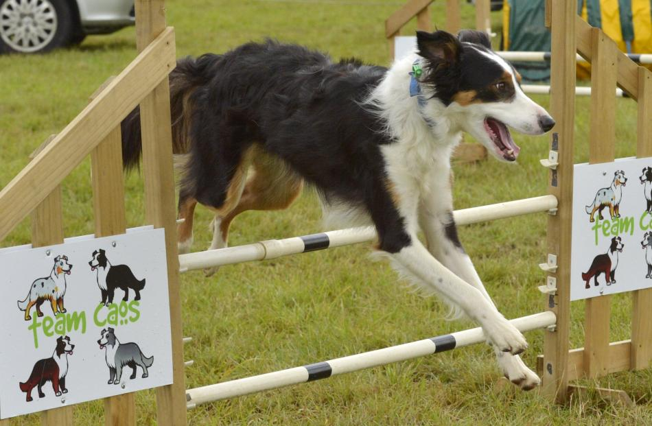 Heading dog/collie cross Forrest revs up for another spin around the Taieri Canine Training Club...