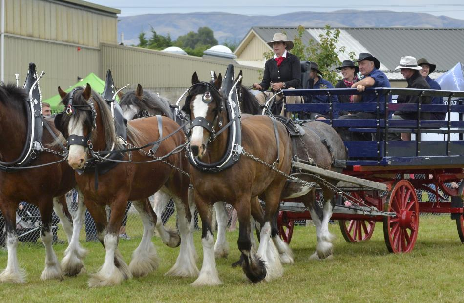 Clydesdales from Erewhon station were stars of the grand parade on Saturday.