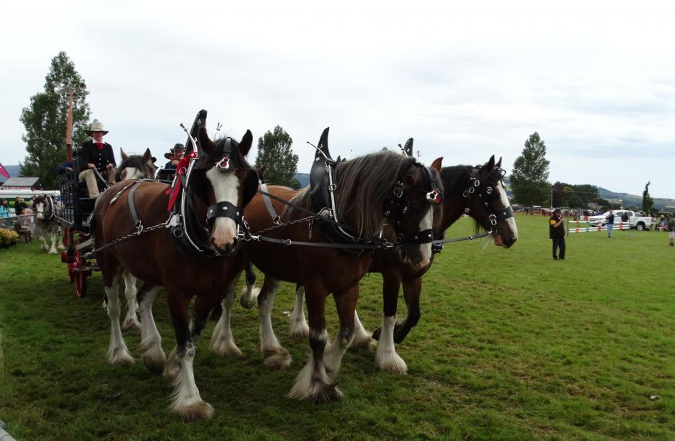 Clydesdales from Erewhon Station led the grand parade at the conclusion of the show.