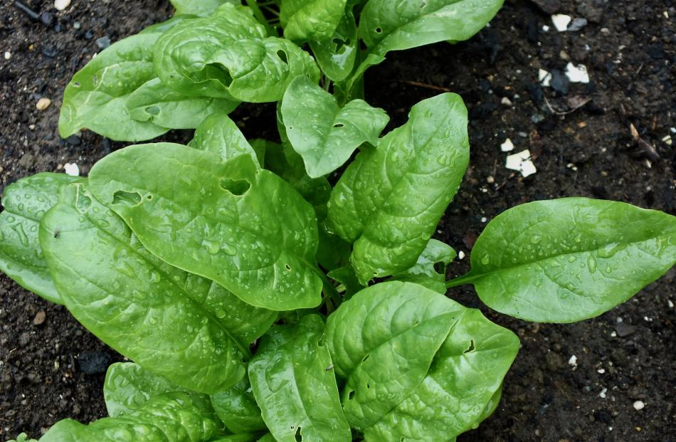 True spinach (Spinacola oleracea) does not cope well with drought. Photos: Gillian Vine