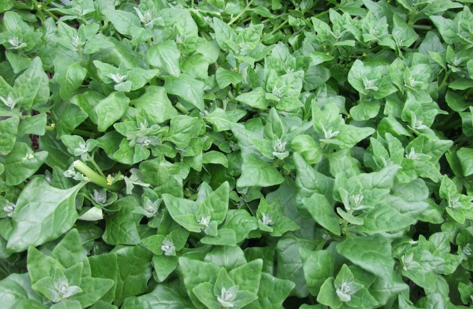 New Zealand spinach (Tetragonia tetragonioides) grows well in dry summers.