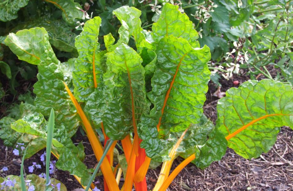 Silverbeet is best grown for winter use.