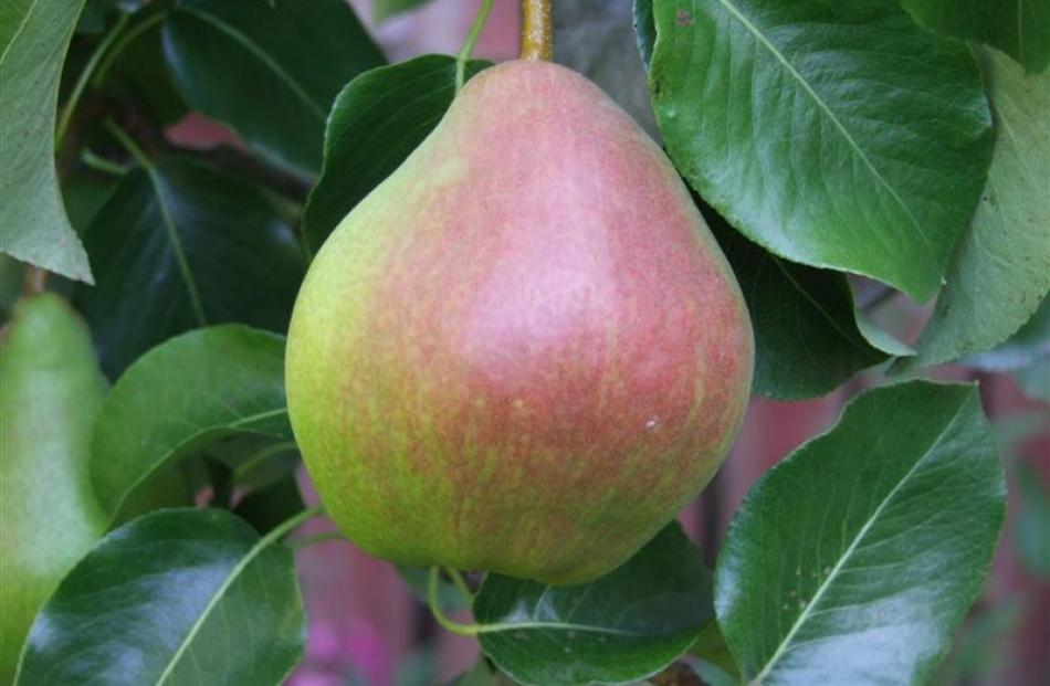 Demand for heritage fruit trees outstrips supply | Otago