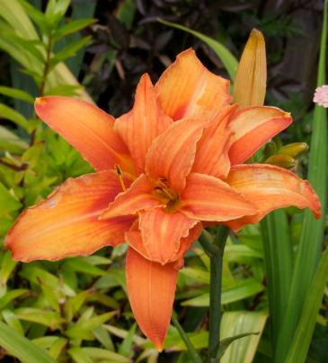 This double orange - probably a form of Hemerocallis fulva - does not produce seed.
