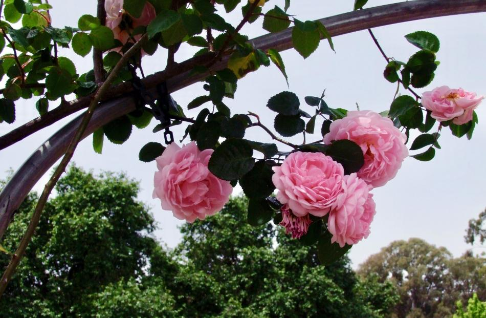 Released in 1961, Constance Spry was the first of Austin's English roses. Photos: Gillian Vine