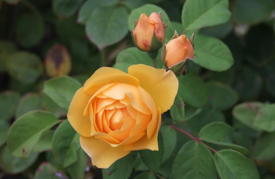 Graham Thomas is New Zealanders' favourite Austin rose.