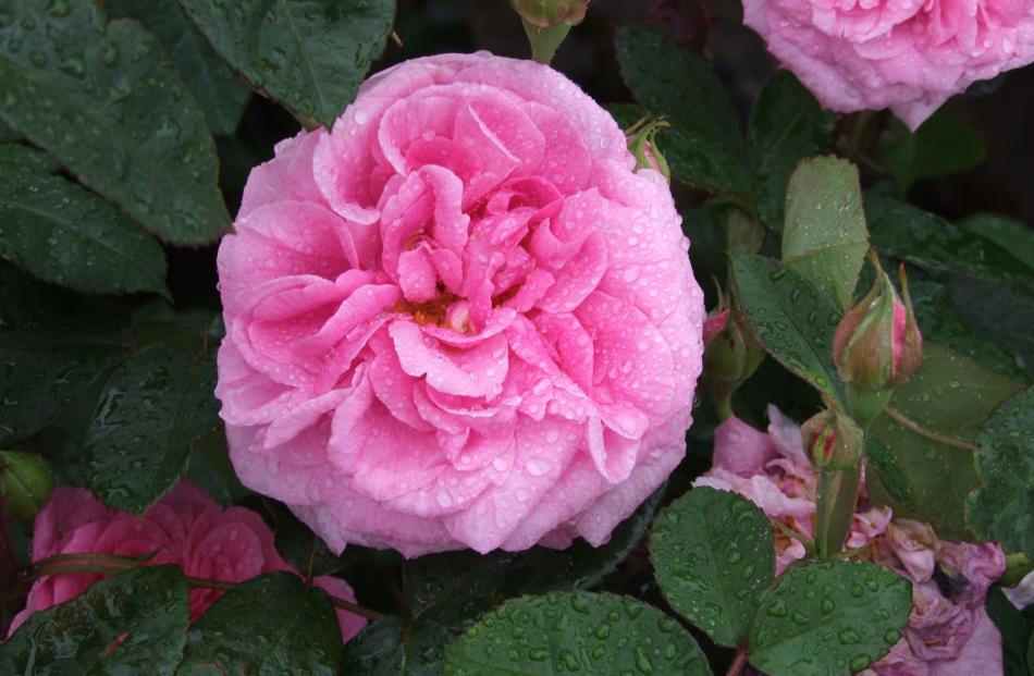 Mary Rose is popular worldwide.