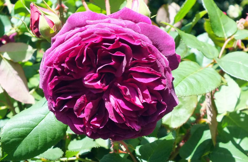 Munstead Wood is one of Austin's best reds - and has exceptional perfume.