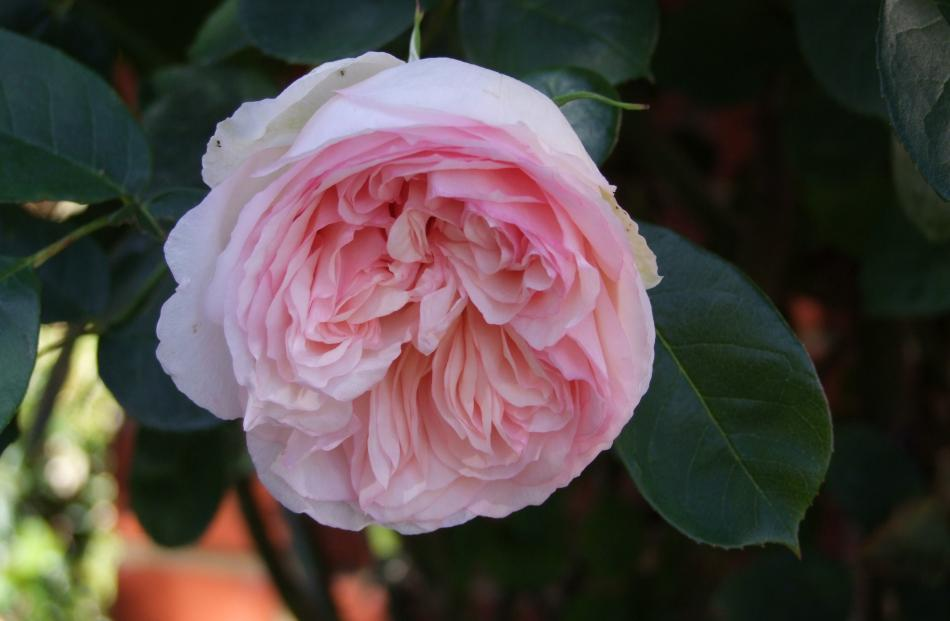 Sweet-scented Abraham Darby shows the well-packed petals of the best Austin roses.