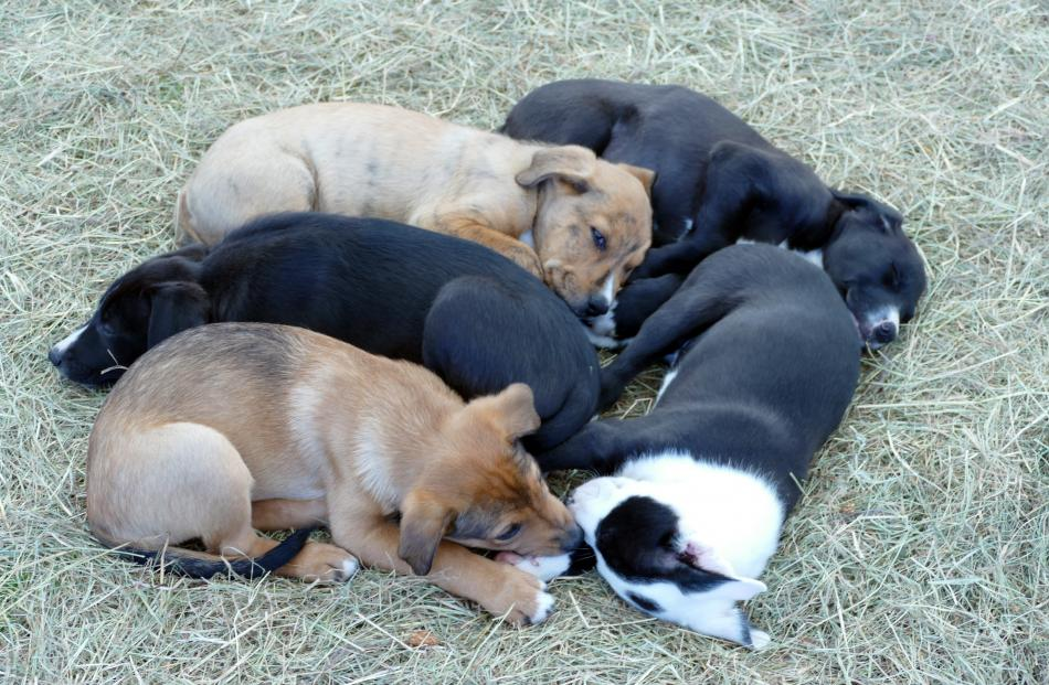 It's 5pm on Saturday and the puppies in the petting zoo have had enough. PHOTO: KEN MUIR