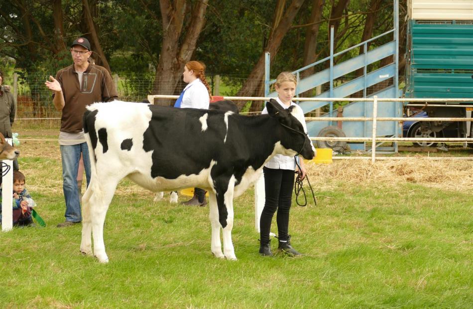 Alisha Parsons (11) with her calf in the intermediate showmanship class. Photos: Ken Muir
