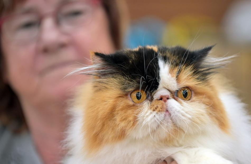 Holding her Persian cat Bellevista Tears in the Rain is Jenny McCallon, of Waikouaiti.PHOTOS:...