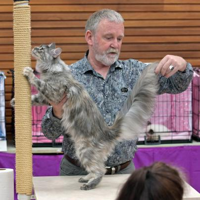 Checking out the tail of Maine Coon Mainelanders Scout's Honour, owned and bred by Joanne Woodrow...