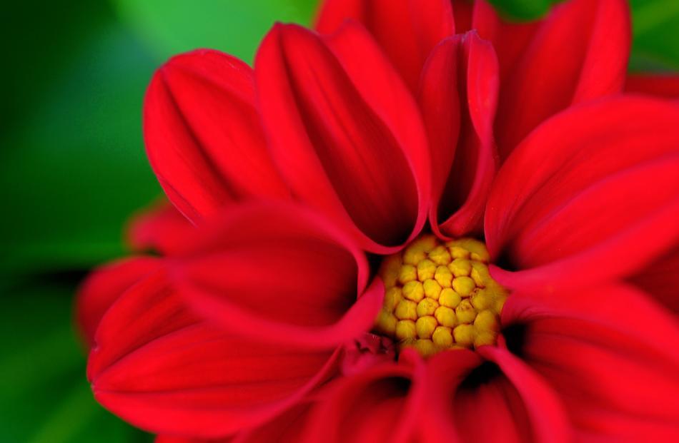 Winner plant under 14: Frankie McAuliffe - My Valentine, Dunedin.