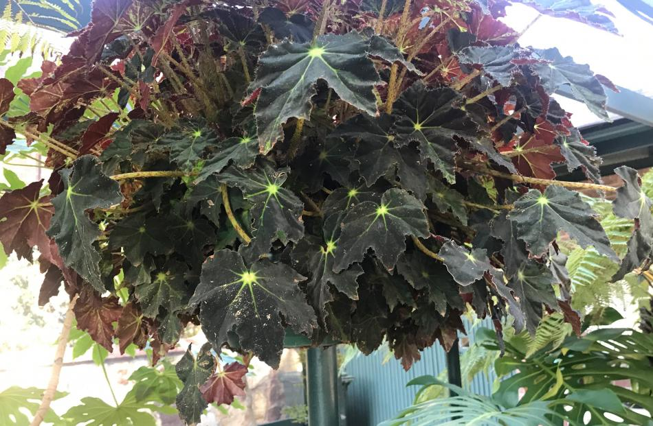 This begonia has survived for decades in its original hanging basket.
