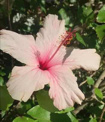One of two hibiscus planted more than 45 years ago.
