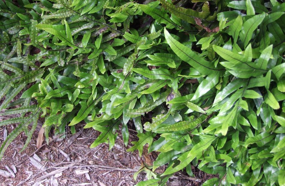 Microsorum pustulatum is a native fern that thrives under trees.