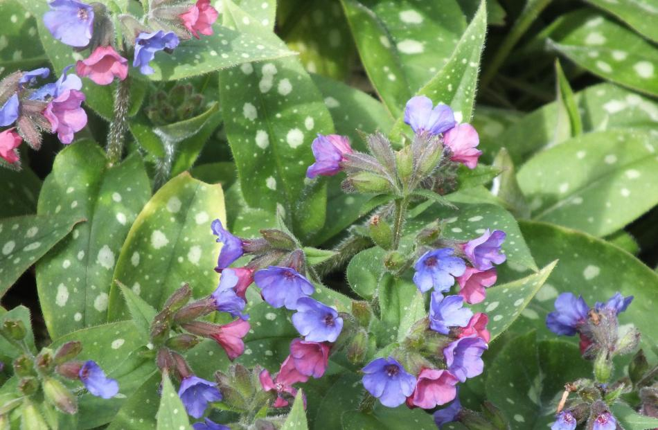 This pulmonaria has two flower colours on one plant.