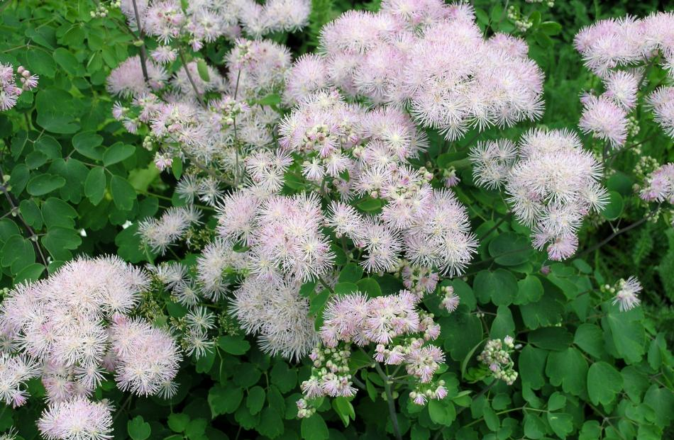Meadow rue (Thalictrum) flowers in spring and early summer.