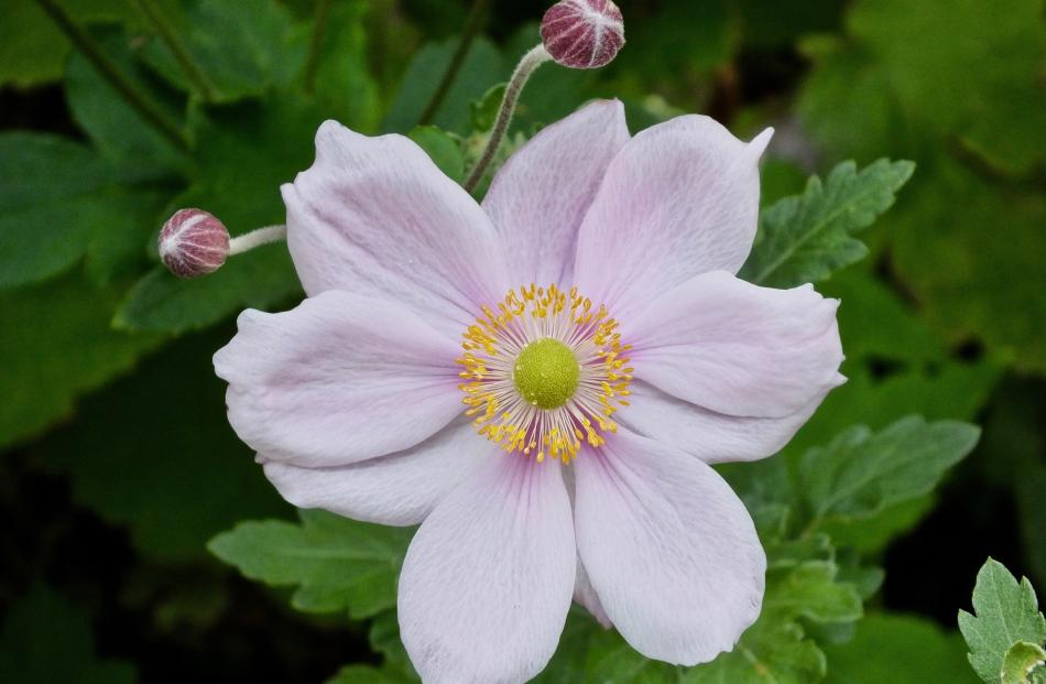 Japanese anemone (Anenome huphensis var. japonica) can become invasive.