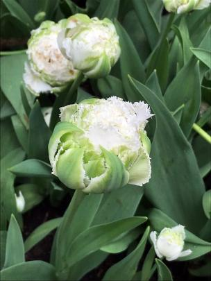 With its viridiflora green stripes, fringed petals and chubby blooms, Snow Crystal was a near...