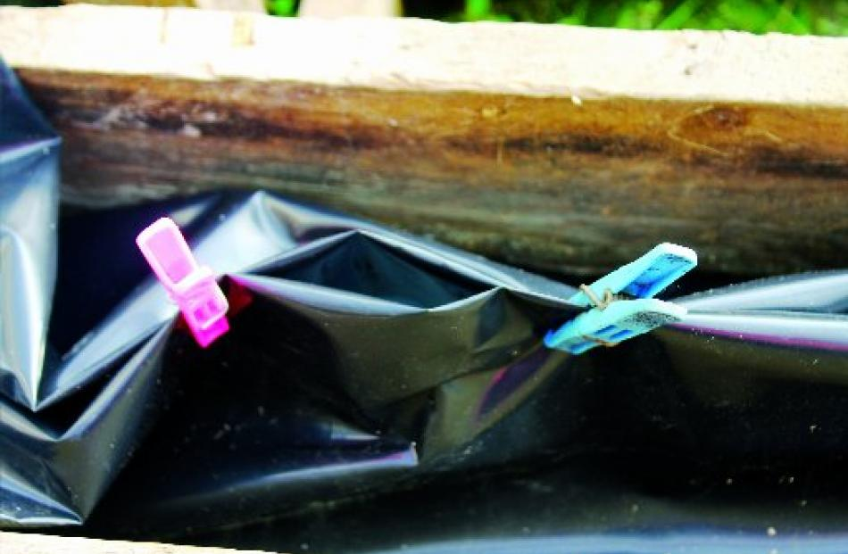Clothes pegs serve as clips to hold the Panda Film together and seedlings in place. Photo: Supplied